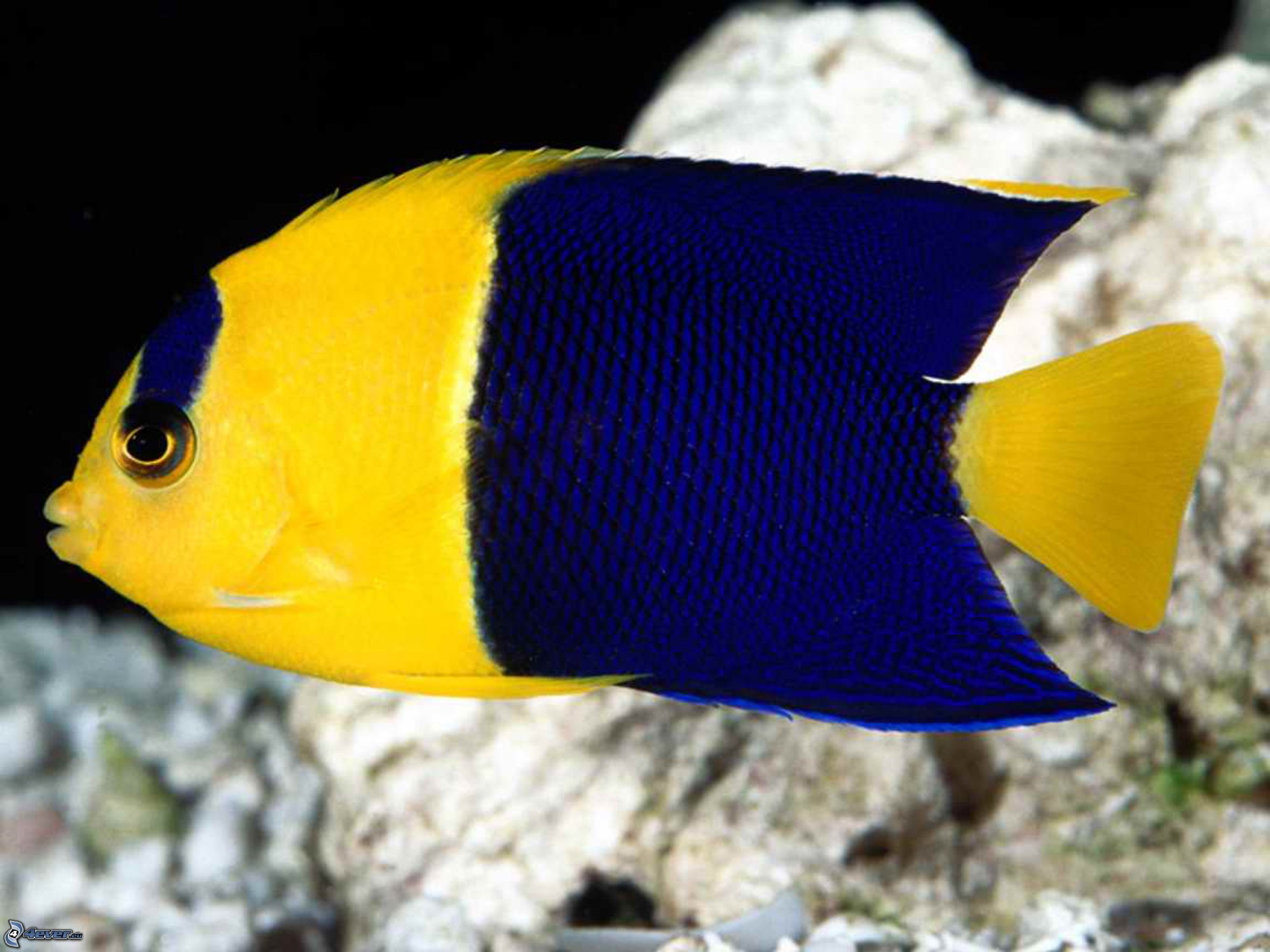 Blue yellow fish for Yellow tropical fish