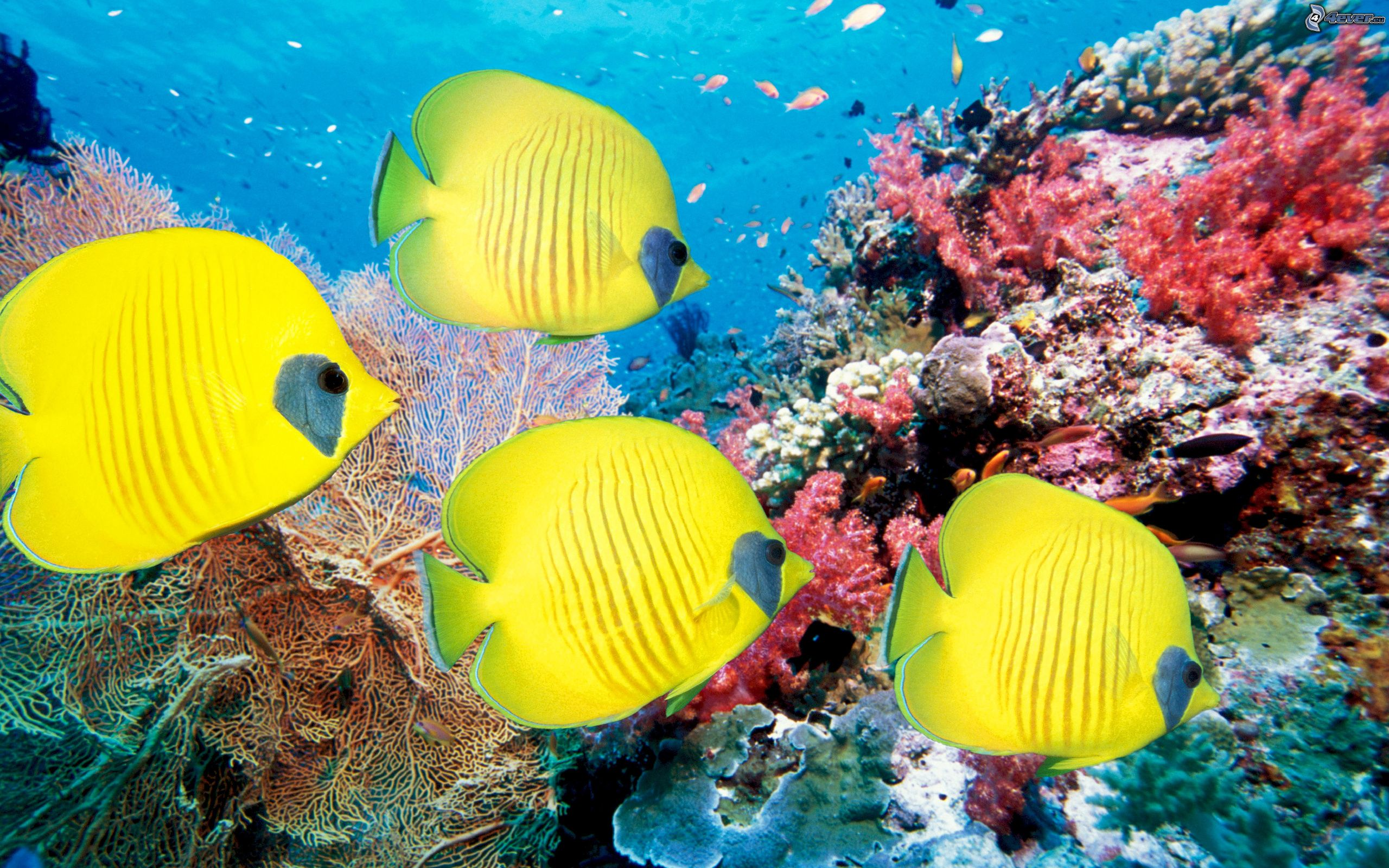Coral reef fish - photo#43