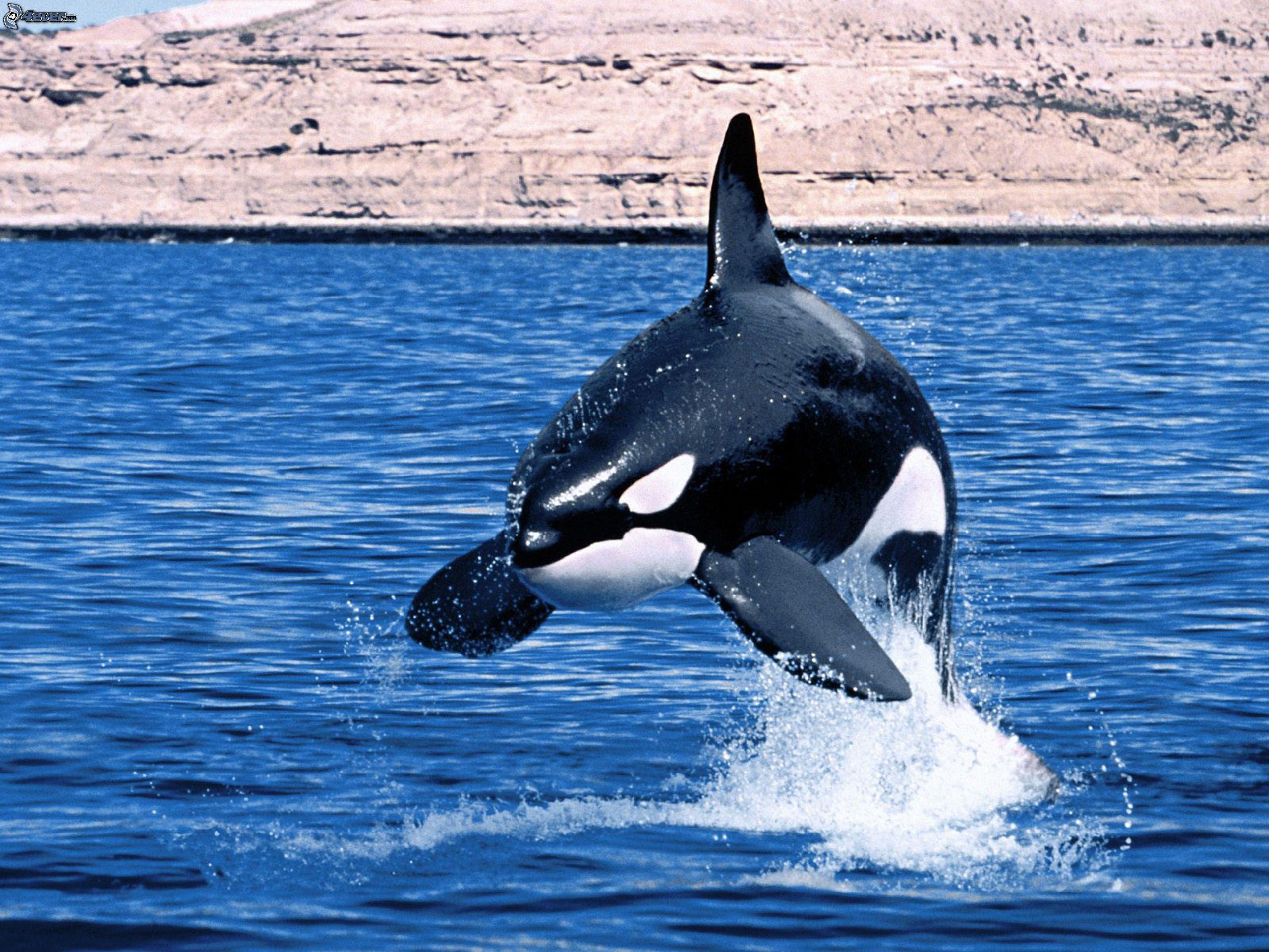 killer-whale-151437.jpg