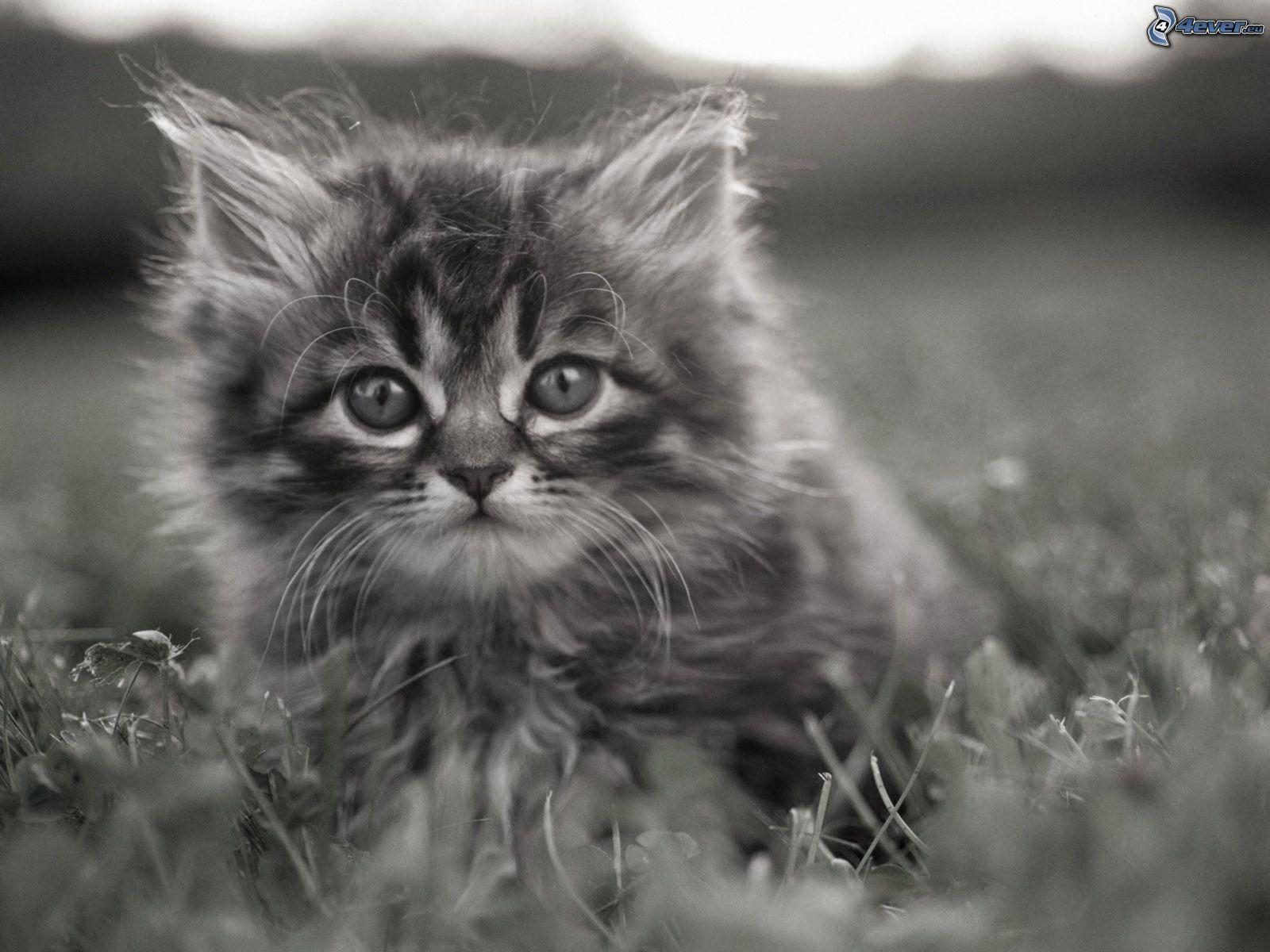 Hairy Kitten 27