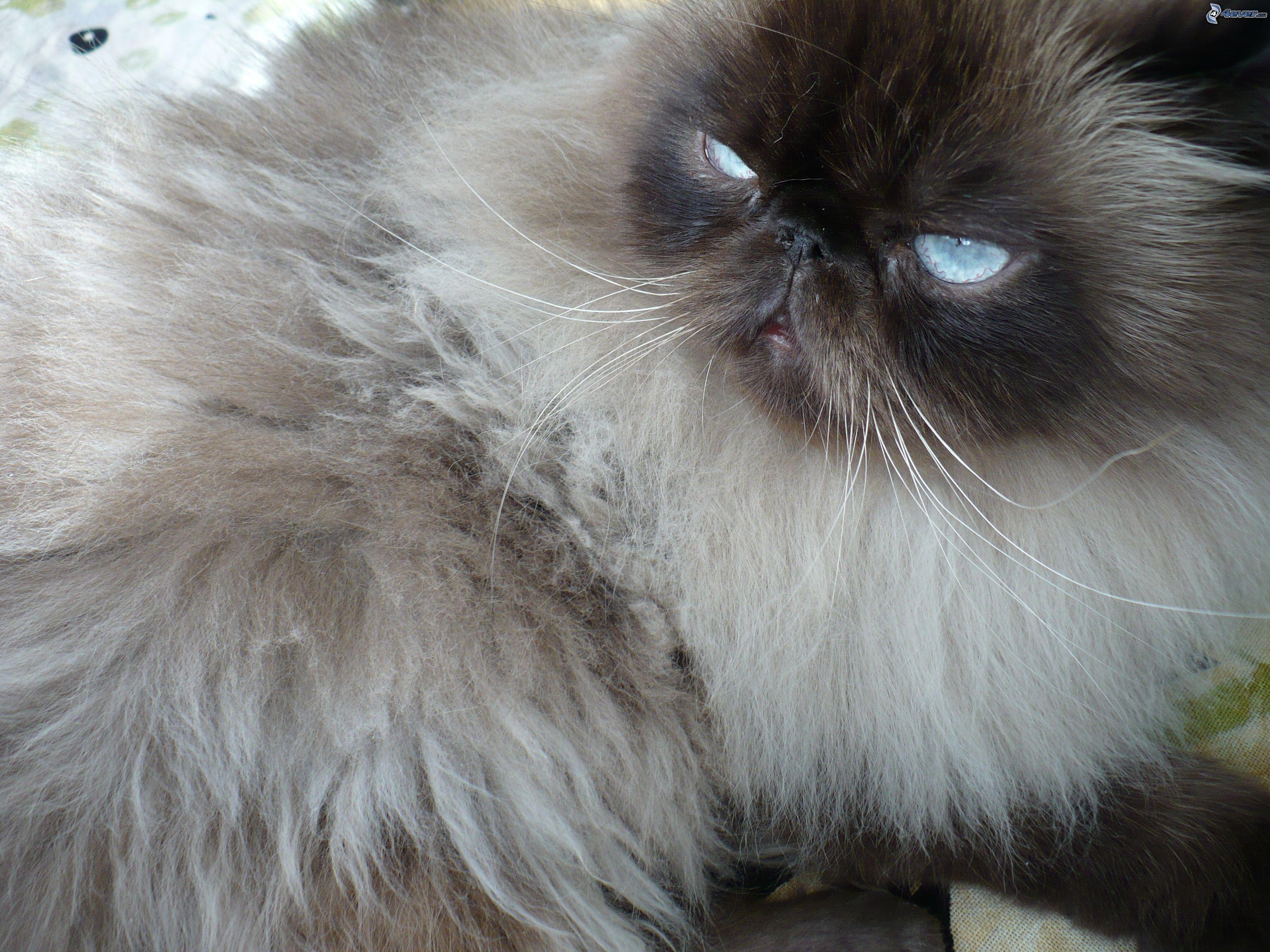 Hairy Persian 66