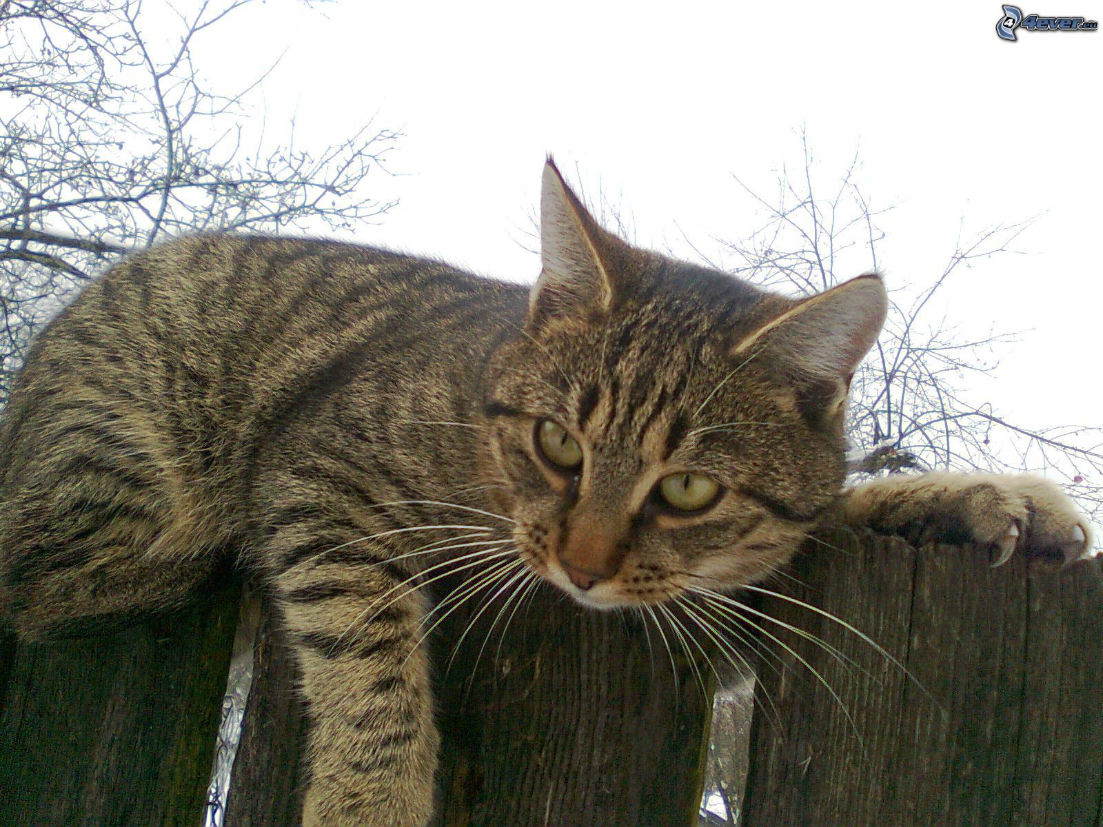 tomcat on the fence