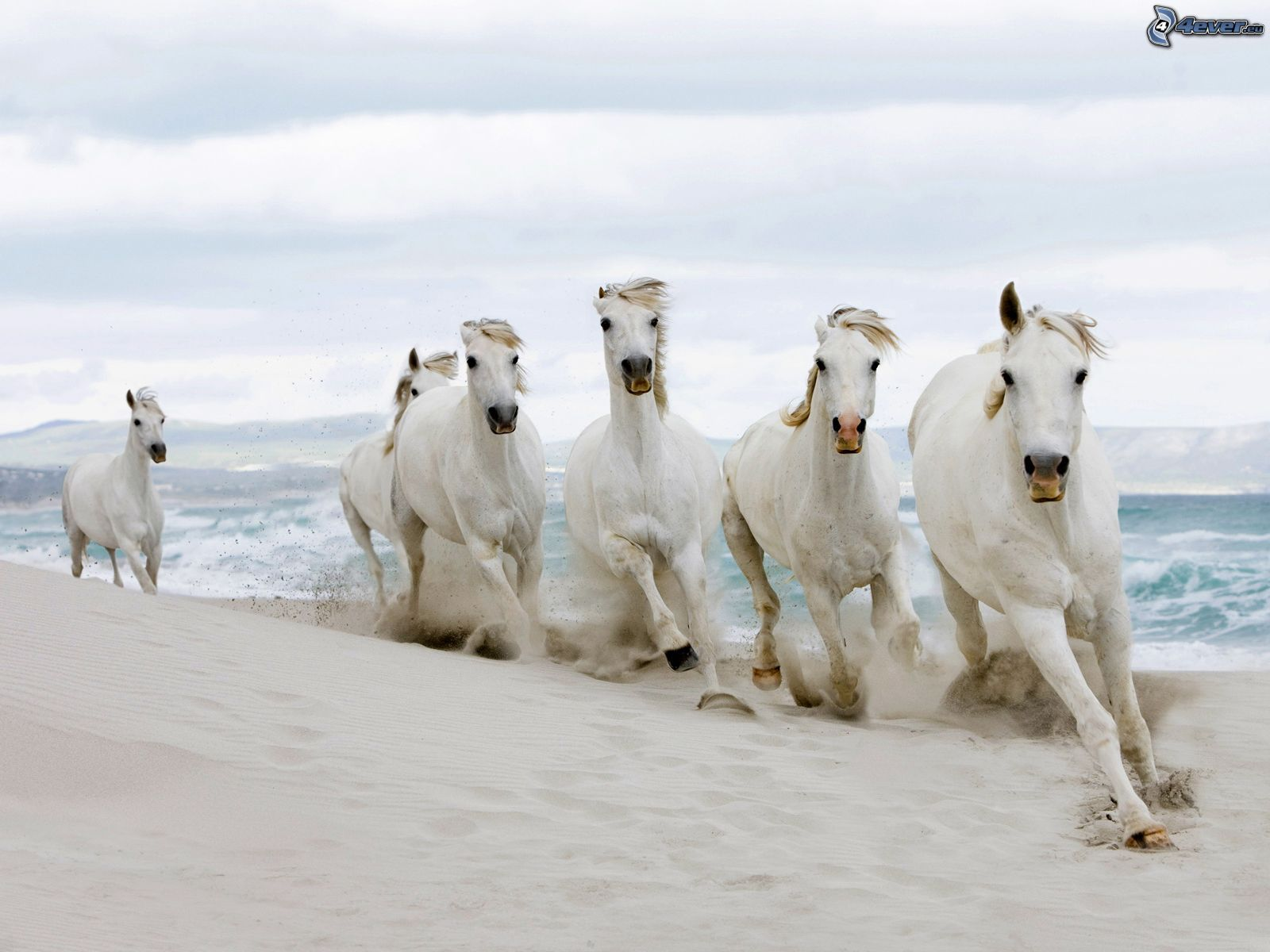 Horses on the beach horses on the beach white horses sea sciox Images