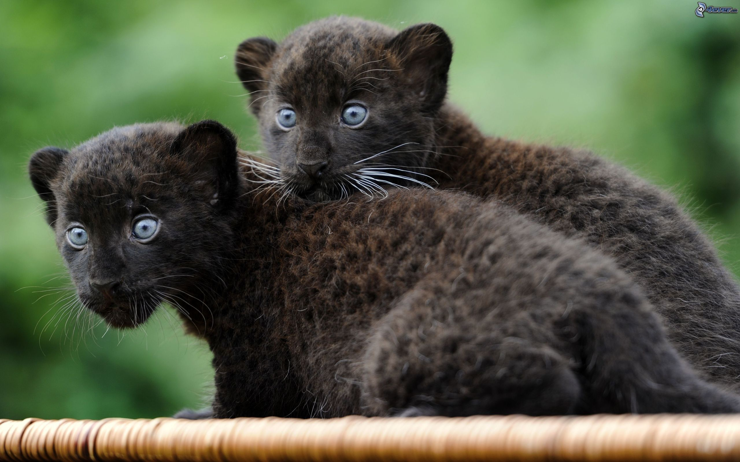animal panthers cubs - photo #1