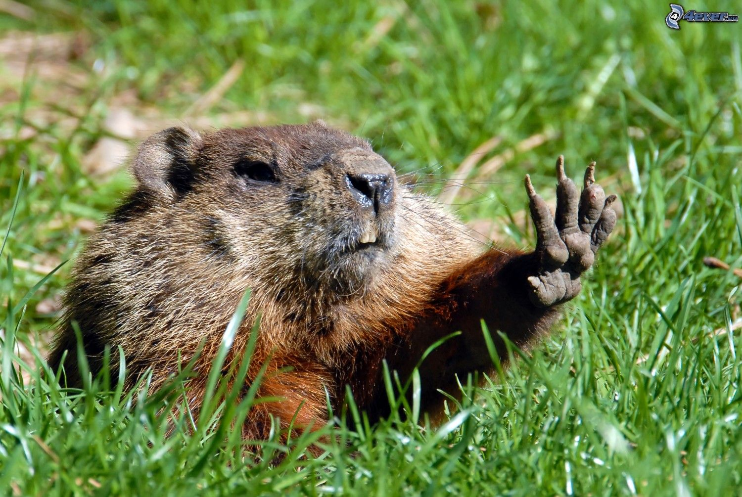 groundhog high five 238933 jpg