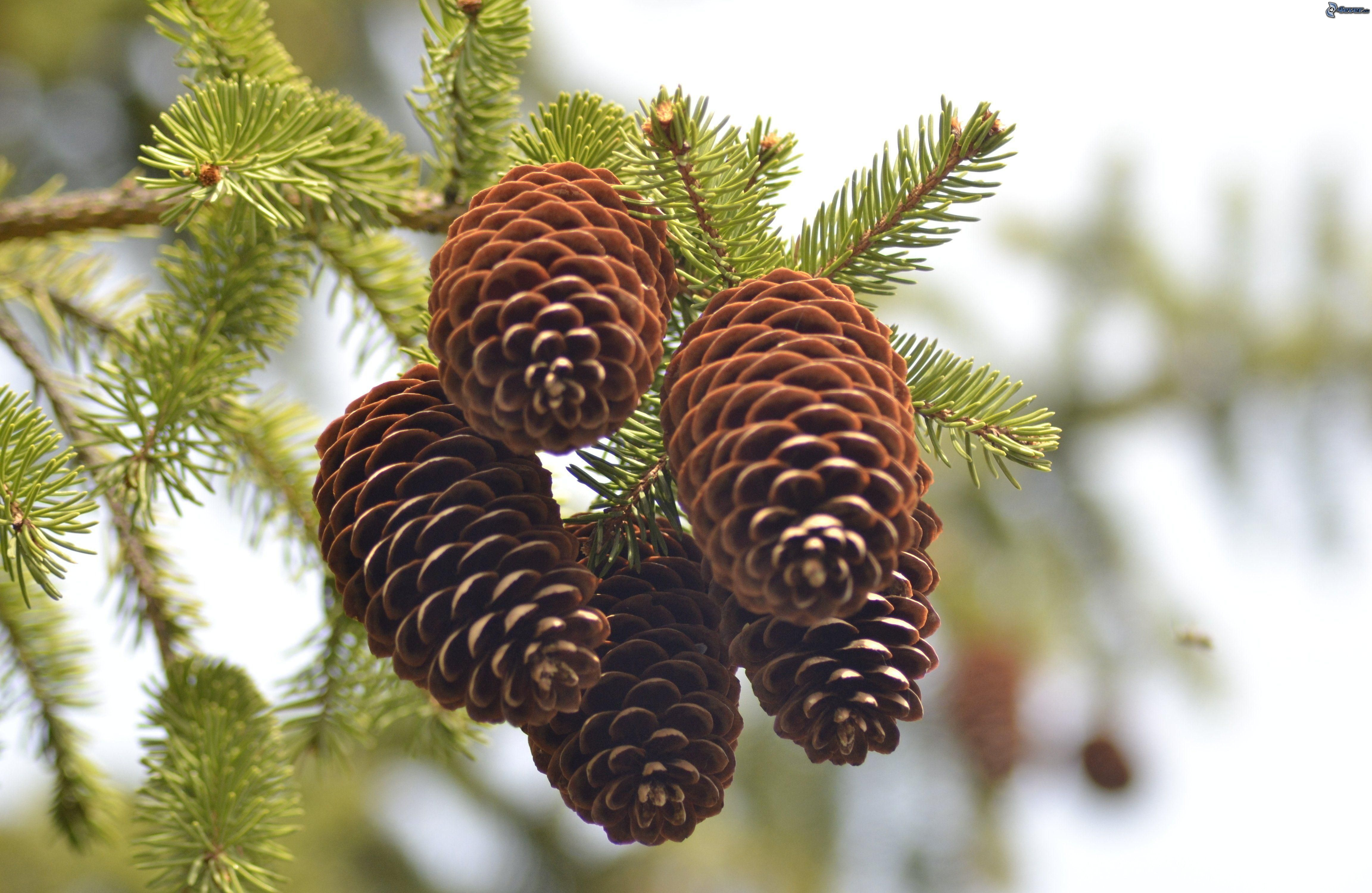 http://pictures.4ever.eu/data/download/nature/plants/conifer-cone,-spruce-207380.jpg