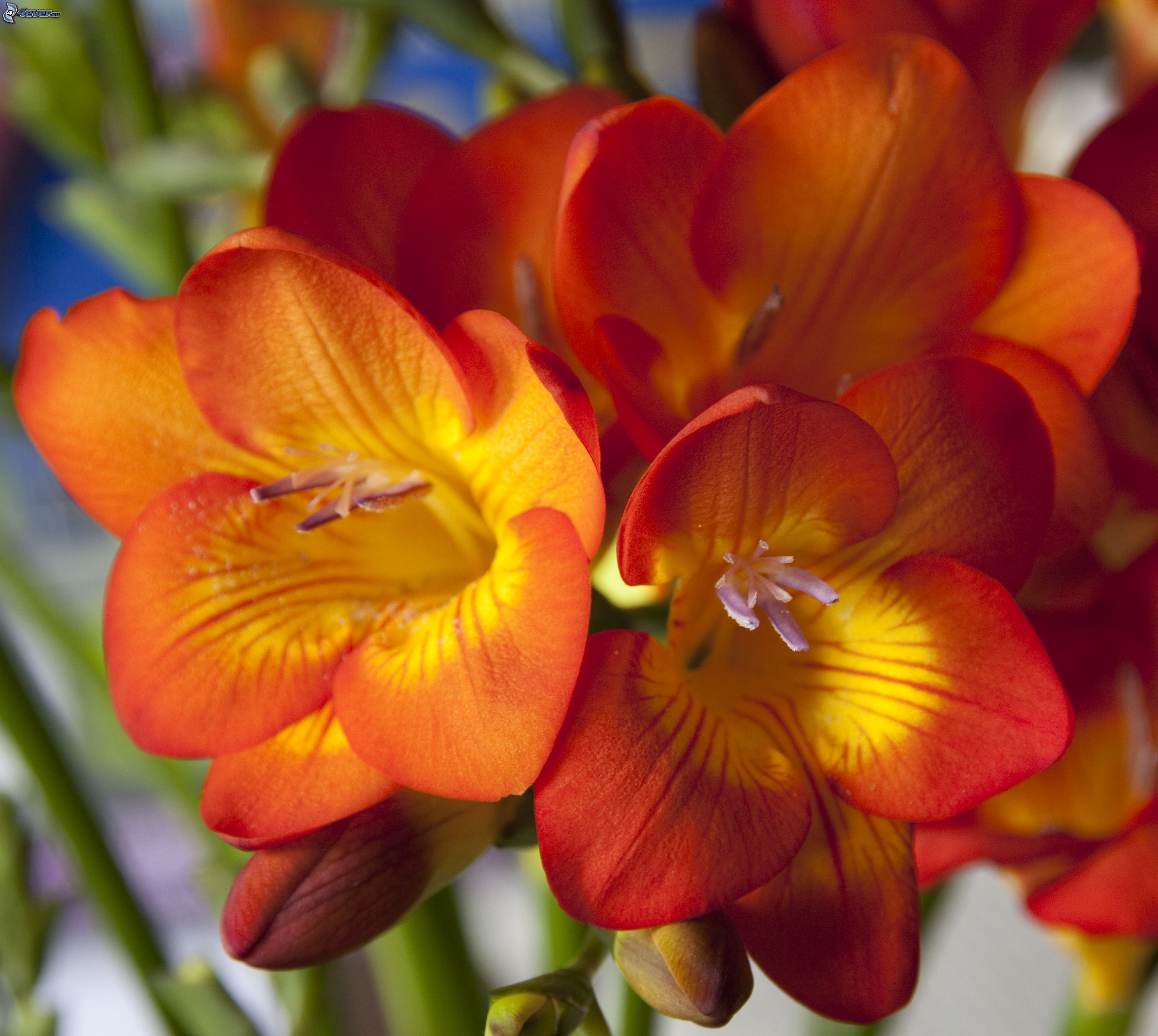 http://pictures.4ever.eu/data/download/nature/plants/freesia,-orange-flowers-237193.jpg
