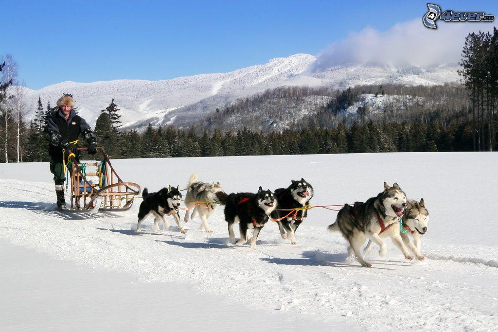 Siberian Husky Quebec Dog sled